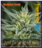 Medicann Trainwreck CBD Female 5 Weed Seeds